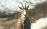 camoscio storiedelcarré carré animali wildlife valle d'aosta parco nazionale gran paradiso