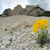 Vittorio Ricci - Papaver alpinum rhaeticum